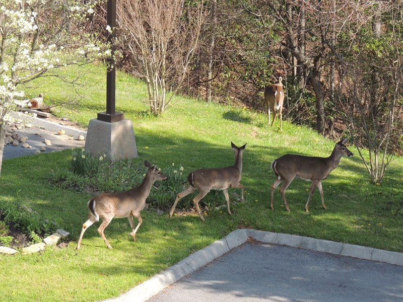 Frequent visitors to our High Chalet grounds.